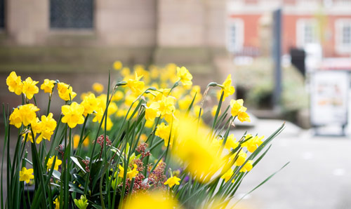 Daffodils outside the John Owens Building